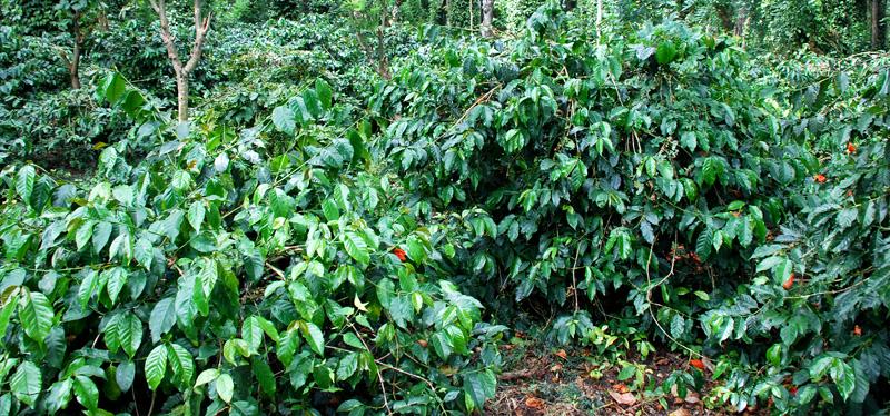estratto di caffè verde puro di como tomarlo